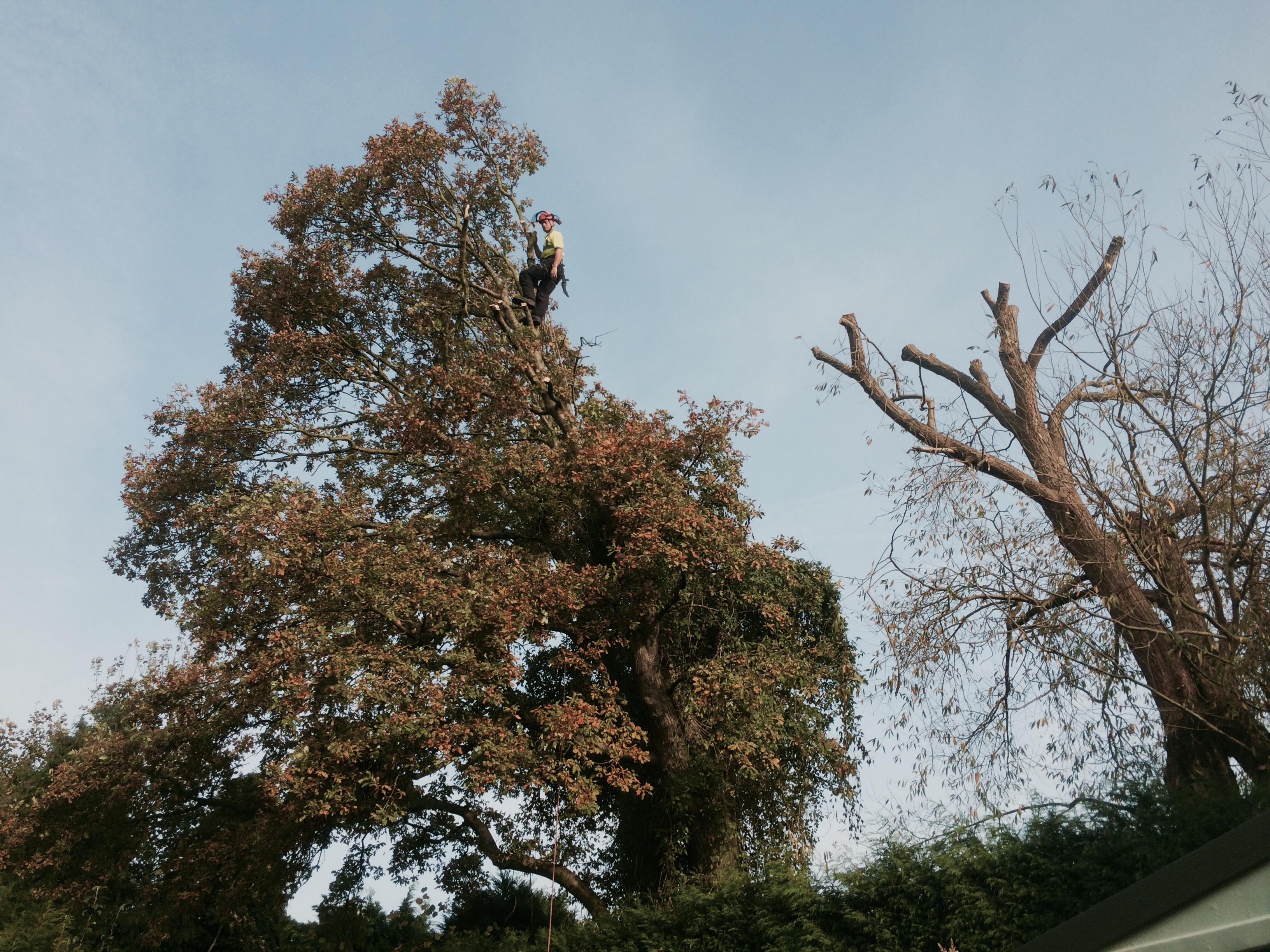 oak pruning